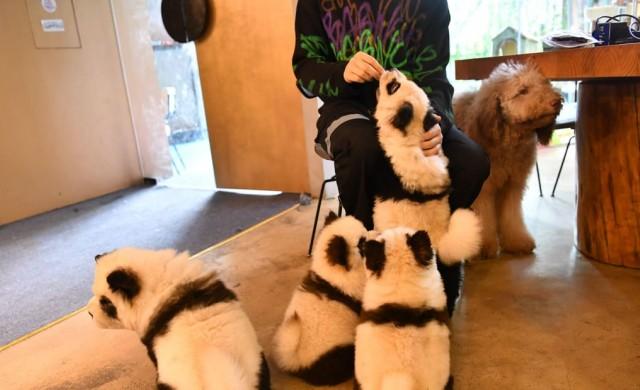 Китайско кафене боядиса кучета, за да приличат на панди