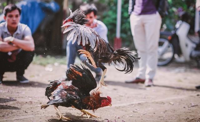 Полицай беше убит от птица по време на нелегален бой с петли