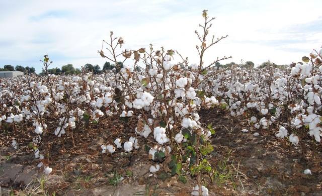 Цената на памука нарасна до 10-годишен връх