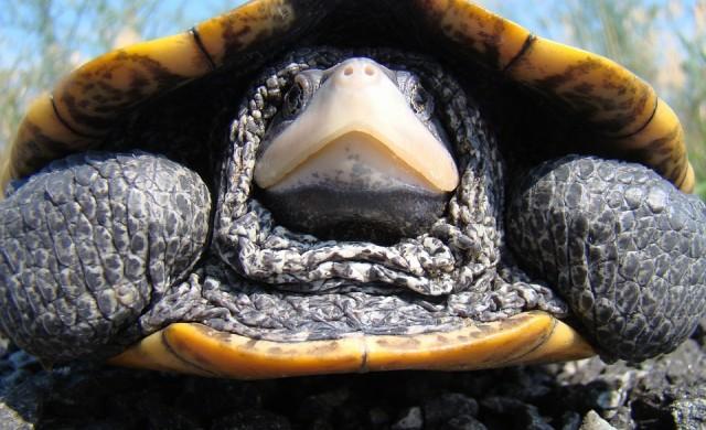 Рядка диамантеногърба костенурка с 2 глави и 6 крака откриха в САЩ (снимки)