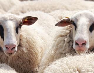 Овце задръстиха улиците на Мадрид на път към зимната си паша
