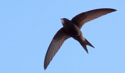 Птицата, която може да лети десет месеца, без да каца