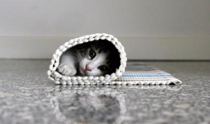 Най-скъпите домашни породи котки на планетата