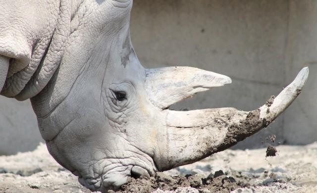Умиращият гигант Судан: последният бял носорог в света