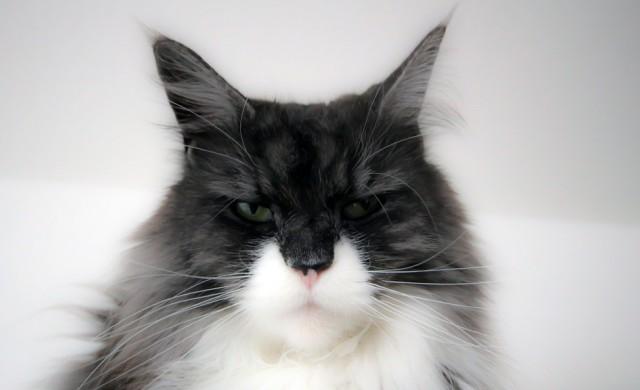 Гигантската котка, която е любимец на Instagram