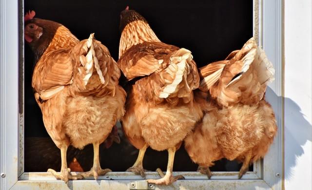 Кокошките могат да броят до пет и още изумителни факти за тях