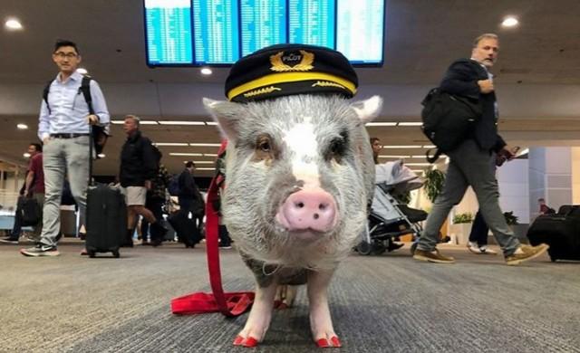 Страх ви е от летенето? Пробвайте свинска терапия!