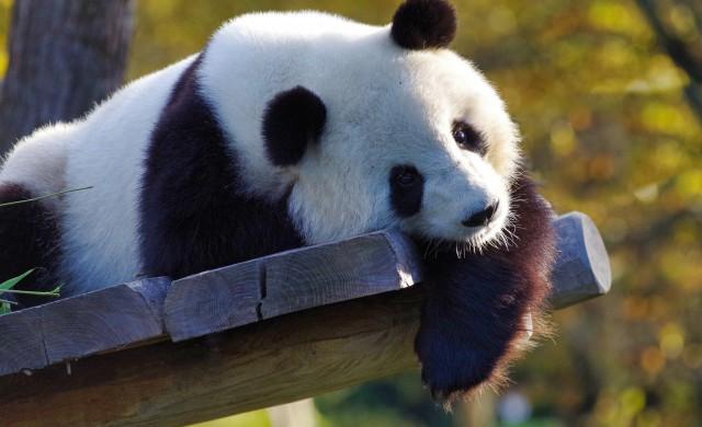 Пандата, която лети с частен самолет (снимки и видео)