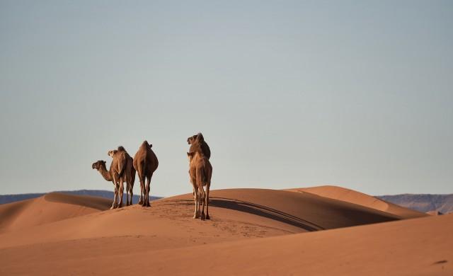 Судан изгражда пристанище за износ на камили