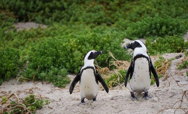 Рядък бял пингвин откриха на островите Галапагос (снимки)