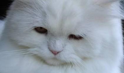 Най-популярните котки в САЩ и света
