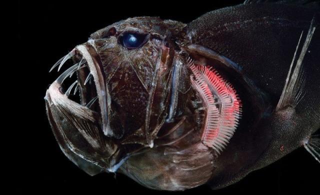 Това е най-зъбатата риба