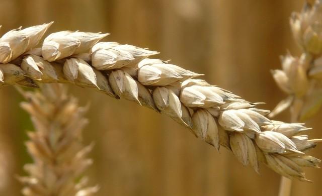 Изнесли сме пшеница за 590 млн. евро
