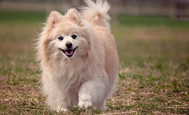 Това са най-скъпите породи кучета в света
