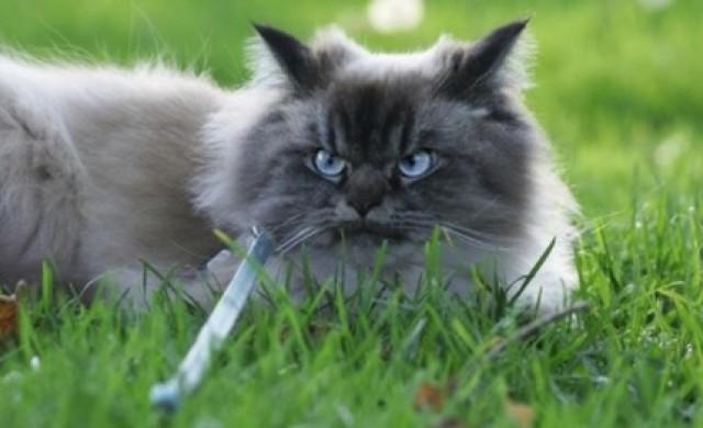 Запознайте се с Мерлин - най-намръщената котка в света