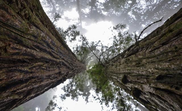 Вековни секвои в Кюстендилско, станаха любими дървета за 2017 г.