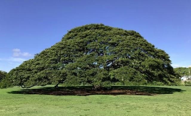 Защо това дърво е едно от най-обичаните в Япония?