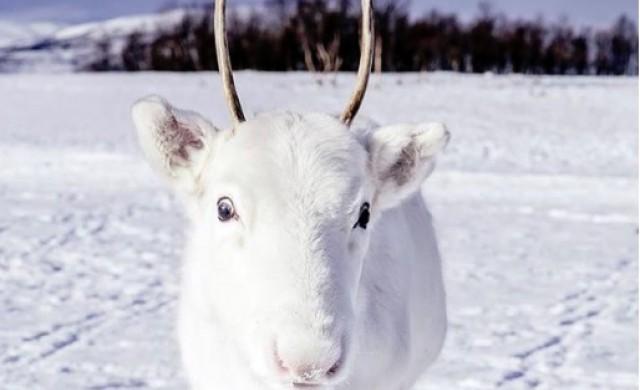 Рядко бяло еленче развълнува света преди Коледа (снимки)