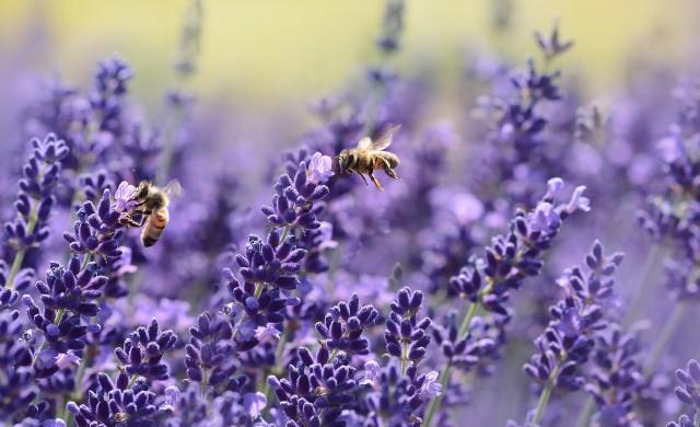 Защо мъжките и женските пчели спазват различна диета?