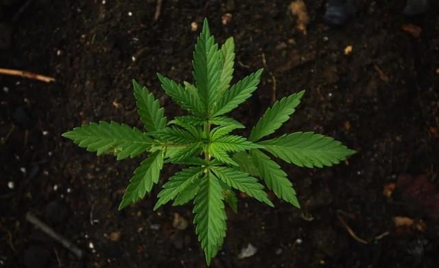 Бразилия разреши медицинската марихуана, но не и отглеждането й